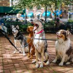 Tightening the leash on fake service dogs